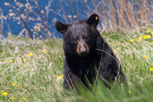 Spring Black Bear by ~Robin-Hugh on deviantART