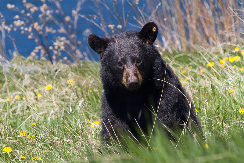bear cougars personals (over 63,000 homes) to place a classified ad click on a link below white bear  press vadnais heights press shoreview press (biweekly) quad community.