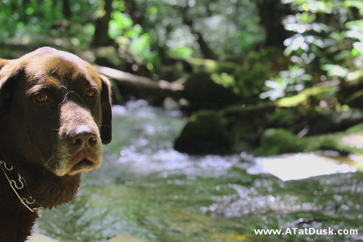 Never needing a bridge, my hiking buddy, Phyto, loves playing in the water along Kimsey Creek.