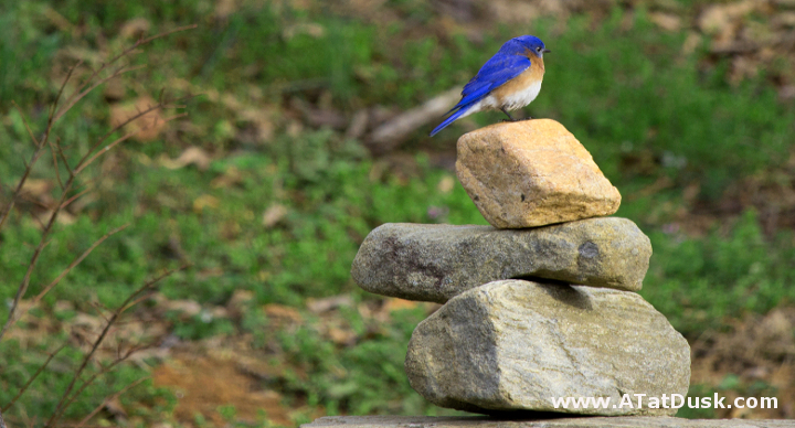 A male bluebird, perched on a cairn.