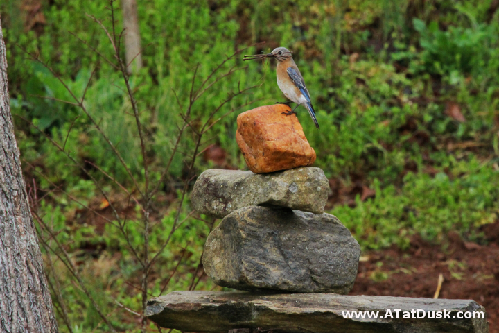 A female bluebird, perched on a cairn, carrying building materials into her new home.
