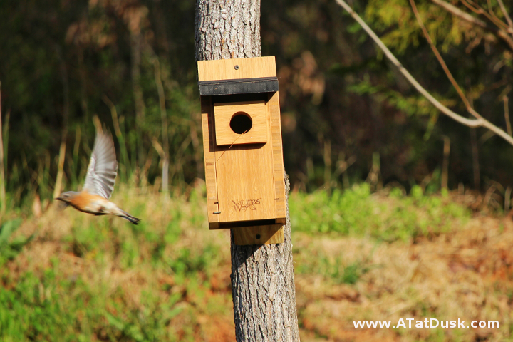 A female bluebird takes flight from her new nesting box.