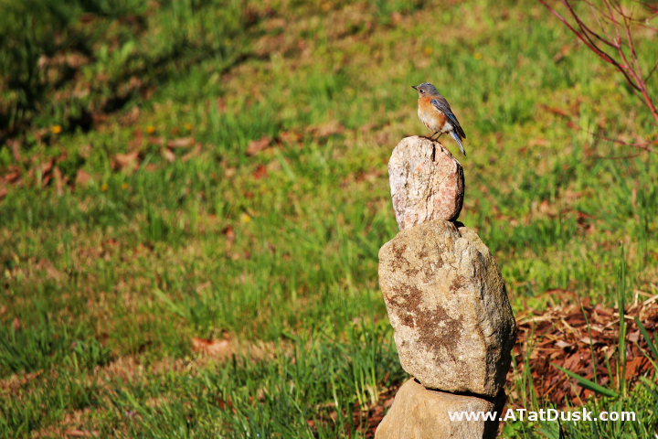 A female bluebird, perched on a cairn, surveying her new neighborhood.